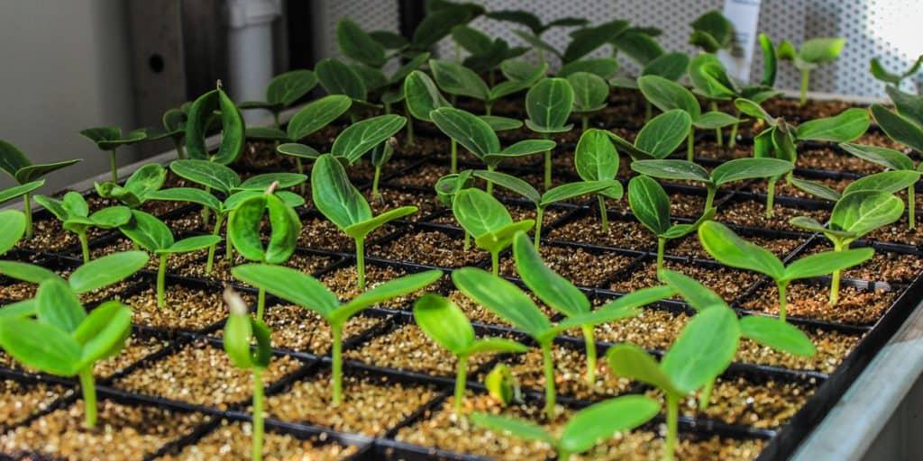 Plantes chambre de culture Strader